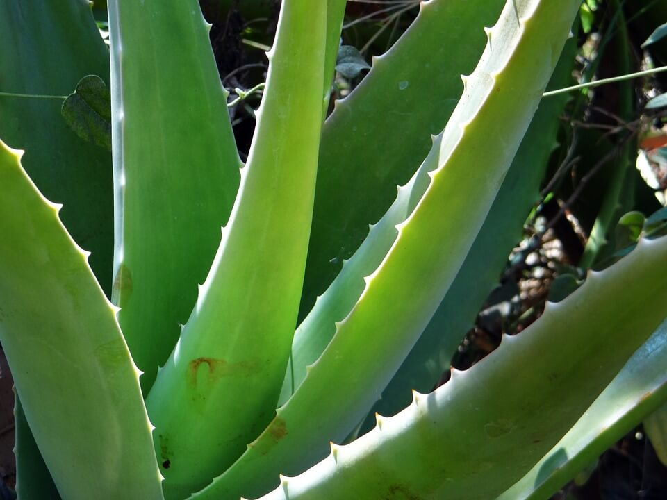 Aloe Vera to keep skin solid