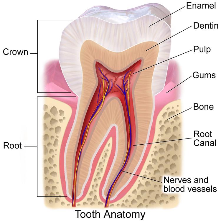 Bone Loss Prevention - Tooth Anatomy